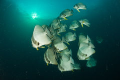 Schooling batfish. Schooling Batfis swimming through the dark water of the Red Sea in Egypt with the sun bursting through at the surface Stock Image