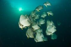 Schooling batfish Stock Image