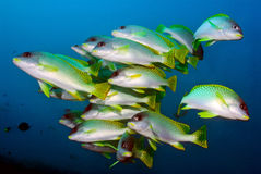Schooling black spotted sweetlips Royalty Free Stock Image