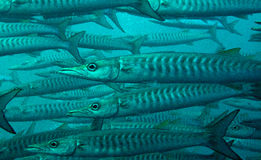 Schooling blackfin, chevron barracuda Stock Image