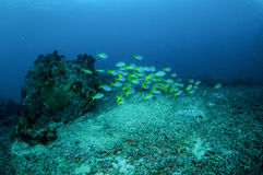 Schooling blue and yellow fusilier in Gili, Lombok, Nusa Tenggara Barat, Indonesia underwater photo Stock Photo