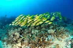 Schooling bluestripe snapper Lutjanus kasmira in Gili,Lombok,Nusa Tenggara Barat,Indonesia underwater photo Royalty Free Stock Photography