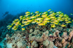 Schooling bluestripe snapper Lutjanus kasmira in Gili,Lombok,Nusa Tenggara Barat,Indonesia underwater photo Stock Images