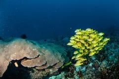 Schooling bluestripe snapper Lutjanus kasmira, great star coral in Gili,Lombok,Nusa Tenggara Barat,Indonesia underwater photo Royalty Free Stock Images