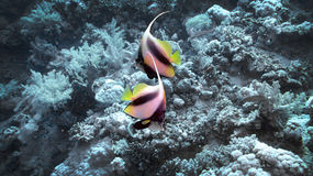 Schooling Butterflyfish Royalty Free Stock Photography