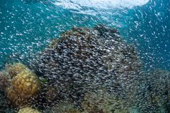 Schooling Cardinalfish on Coral Reef in Indonesia Royalty Free Stock Photos