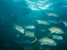 Schooling Crevalle Jacks Royalty Free Stock Photo
