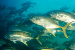Schooling Crevalle Jacks Stock Images