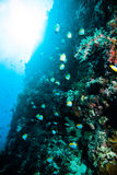 Schooling fish above coral scuba diving diver kapoposang indonesia Stock Photo