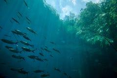 Schooling fish in Derawan, Kalimantan, Indonesia underwater photo Royalty Free Stock Photography