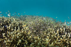 Schooling Fish Over Reef. A school of small cardinalfish swim over a coral reef in Raja Ampat, Indonesia. This remote region harbors extraordinary marine Royalty Free Stock Images