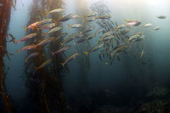 Schooling Fish Stock Image