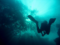 Schooling fish scuba diver sipadan island borneo Stock Image