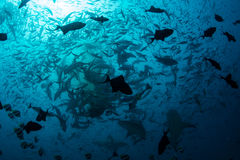 Schooling Fish and Sharks. Sharks and fish feed in a frenzy in Fiji. This island nation is known for its beautiful coral reefs and is a favorite destination for Royalty Free Stock Images