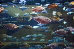 Schooling fish Royalty Free Stock Images