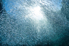 Schooling Fish and Sunlight. A thick school of Silversides, small bait fish, swarm near a coral reef in the tropical western Pacific. These tiny fish often end Stock Photo