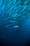 Schooling fish under blue ocean indonesia scuba diving diver barracuda Royalty Free Stock Photo