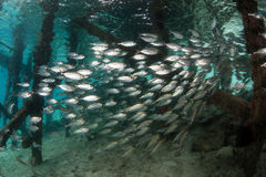 Schooling Fish Underneath Pier. A school of silvery scad swims below a pier in Raja Ampat, Indonesia. This tropical area is part of the Coral Triangle and is royalty free stock photo
