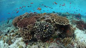 Schooling Fish and Vibrant Corals in Alor, Indonesia. Colorful reef fish swim above a vibrant coral reef near Alor, Indonesia. This tropical region, part of the stock footage