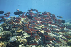 Schooling fishes, Great barrier reef Royalty Free Stock Photography