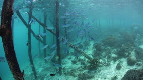 Schooling Fusiliers at Pier in Tropical Pacific. A school of fusiliers swim in near a pier in Raja Ampat, Indonesia. This region is within the Coral Triangle and stock video footage