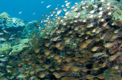 Schooling Glassy Sweepers. Swimming near a large boulder coral, picture taken in Broward County Florida stock photography