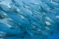 Schooling Jacks, Great barrier reef Stock Photo