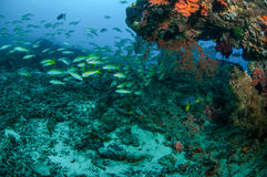 Schooling narrowstripe fusilier swimming in Gili, Lombok, Nusa Tenggara Barat, Indonesia underwater photo Stock Photo