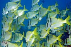 Schooling Porkfish. A school of Porkfish(Anisotremus virginicus Stock Photo