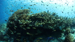 Schooling Reef Fish in Tropical Pacific. Reef fish swarm over a vibrant coral reef in Raja Ampat, Indonesia. This tropical region is known for its extraordinary stock video footage