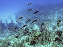 Caribbean Reef Squid on Parade. Schooling Reef Squid hover above a coral reef in the Cayman Islands Stock Photo