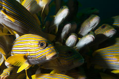 Schooling ribbon sweetlips. Royalty Free Stock Image