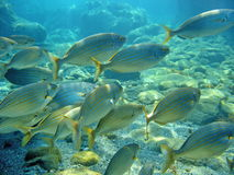 Schooling sea bream fish Sarpa salpa Royalty Free Stock Photography
