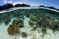 Schooling Silversides and Coral Reef in Indonesia Stock Images