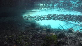 Schooling Silversides in Shallow Tropical Pacific. A large school of baitfish (Silversides) swim in shallow water in Raja Ampat, Indonesia. This region is within stock video footage