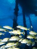 Schooling smallmouth grunt under Salt Pier, Bonaire, Netherlands Antilles. Royalty Free Stock Photo