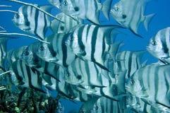 Schooling Spadefish Stock Photography
