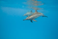 Schooling Spinner dolphins. Selective focus. Stock Images