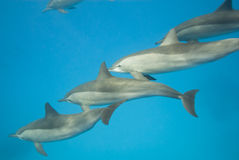 Schooling Spinner dolphins. Selective focus. Spinner dolphins (Stenella longirostris). Sataya, Southern Red Sea, Egypt. Selective focus Royalty Free Stock Images