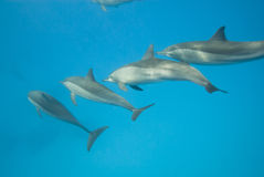 Schooling Spinner dolphins. Selective focus. Spinner dolphins (Stenella longirostris). Sataya, Southern Red Sea, Egypt. Selective focus Royalty Free Stock Photography