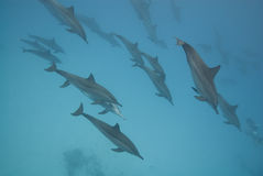 Schooling Spinner dolphins in the wild. Schooling Spinner dolphins (Stenella longirostris) in the wild. Sataya, Southern Red Sea, Egypt Royalty Free Stock Photo