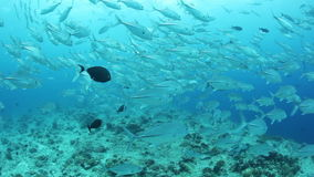 Schooling Trevally in Palau stock footage