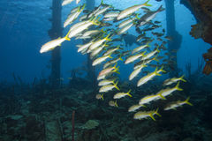 Schooling Tropical Fish, Bonaire Stock Images