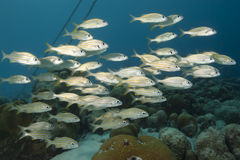 Schooling Tropical Fish, Bonaire Royalty Free Stock Photography