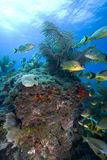 Schooling tropical fish, Key Largo Royalty Free Stock Image