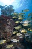 Schooling tropical fish, Key Largo stock image