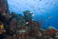 Schooling tropical fish, St. Lucia Royalty Free Stock Photo