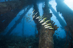 Schooling Tropical Fish under Pier, Bonaire Royalty Free Stock Photos