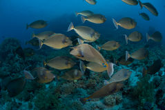 Schooling unicorn fish, Red Sea, Egypt. Royalty Free Stock Photos