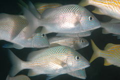 Schooling White Grunts. White Grunts-Haemulon plumierii picture taken in south east Florida Stock Images